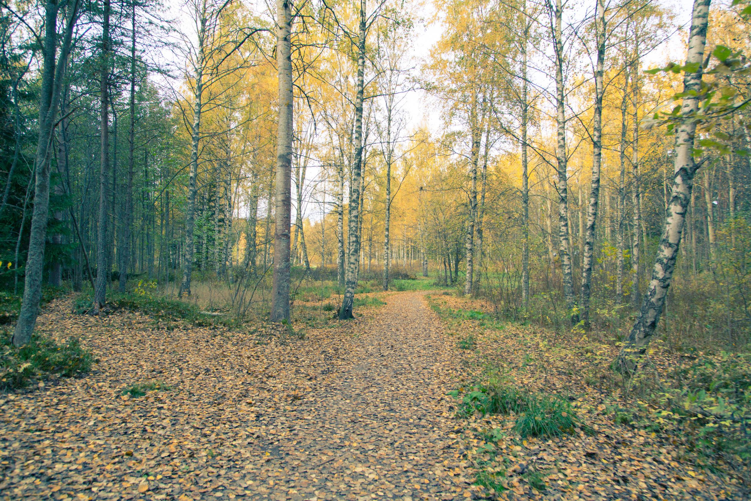 Ruskainen lehtipuu metsä. Puiden lehdet kirkkaan keltaisia.