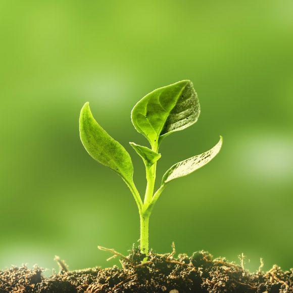 Pieni kasvi kasvaa mullasta.